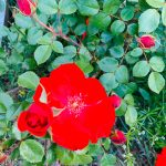 Rose rouge provence