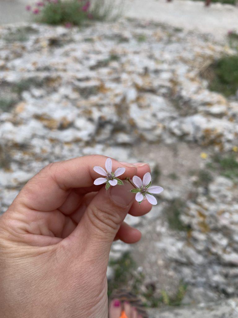 Fleursblanches
